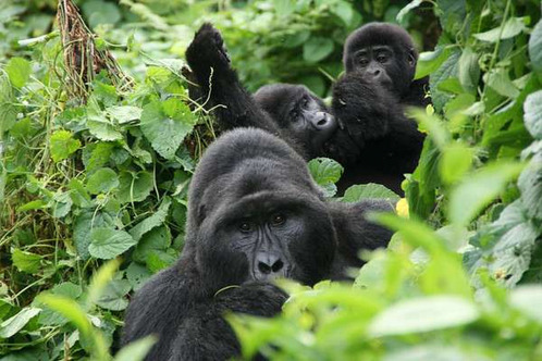 Uganda-gorillagroup