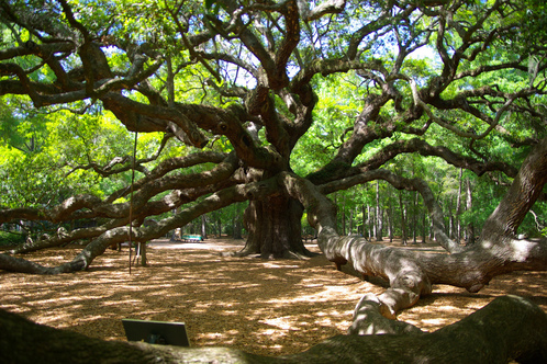 Angel-oak-sc