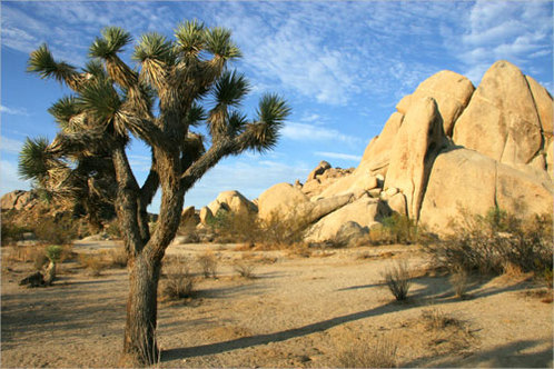 Joshua_tree