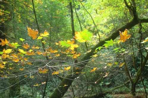 Muir_woods_a