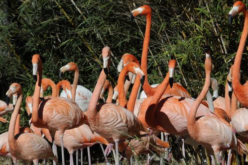 Flamingo__2_