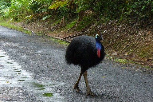 Australia-cassowary