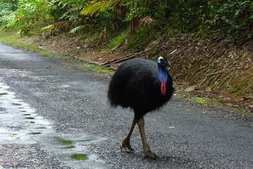 Australia-cassowary