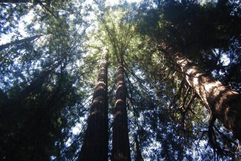 Muir-woods_010