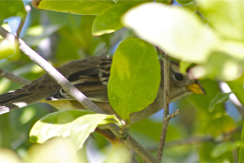 Chipping_sparrow