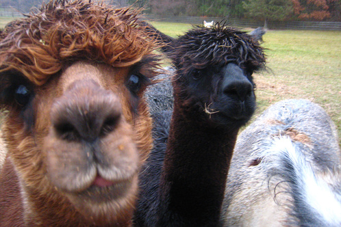 Spruce-ridge-alpaca-farm