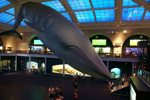 800px-blue_whale_nat_l_hist_museum