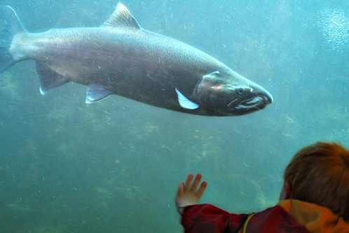 Free for all best free attractions in seattle on citysearch for Ballard locks fish ladder