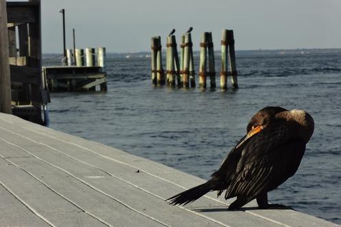 Fi-cormorants
