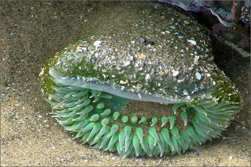 Sea_cucumber