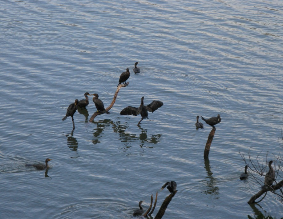 Trip photo #28/32 Cormorants drying out