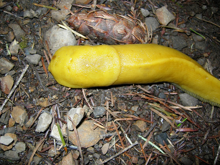 Trip photo #8/82 Banana Slug