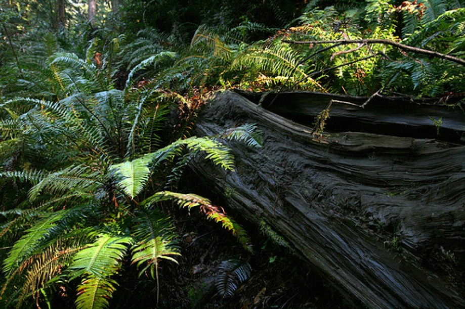 Trip photo #18/45 Wet Fallen Redwood covered with Ferns