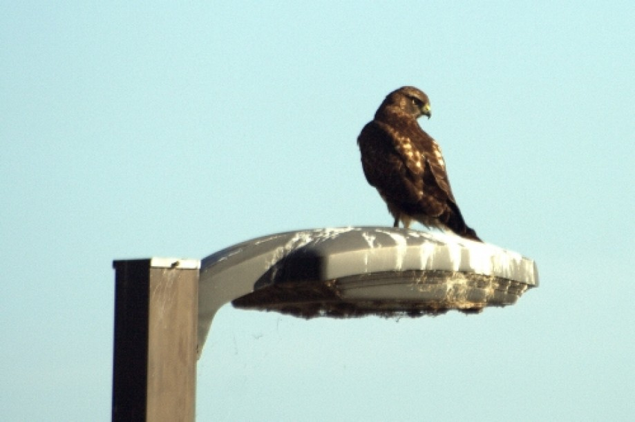 Trip photo #5/19 Red Tailed Hawk