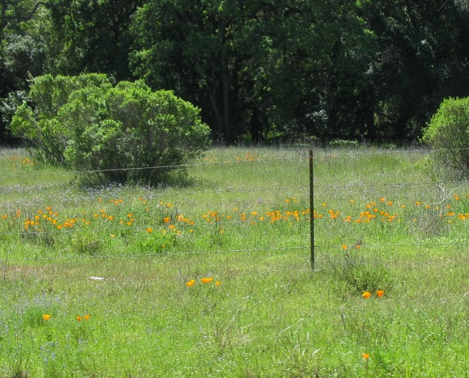 Trip photo #17/32 Poppy field by Geary rd.