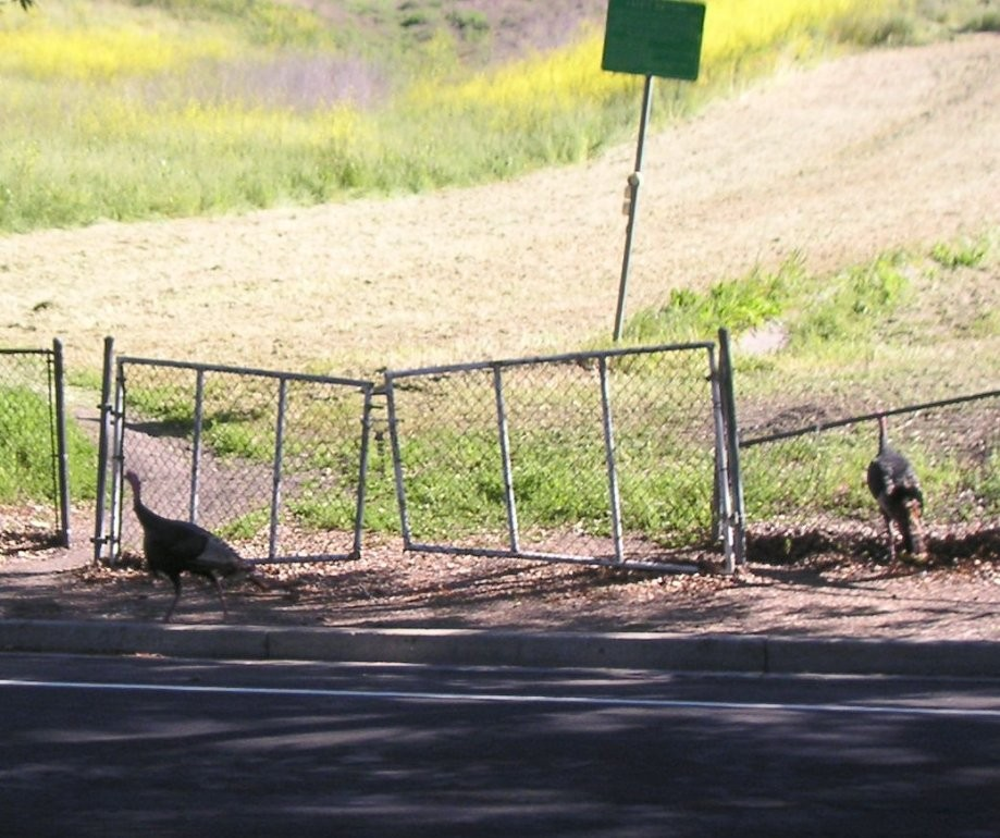 Trip photo #2/11 Turkeys along Stagecoach Rd.
