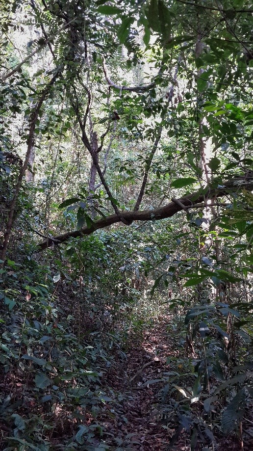 Trip photo #4/5 Vine desperately holding up tree.  Assume that it will crush the life out of it later.