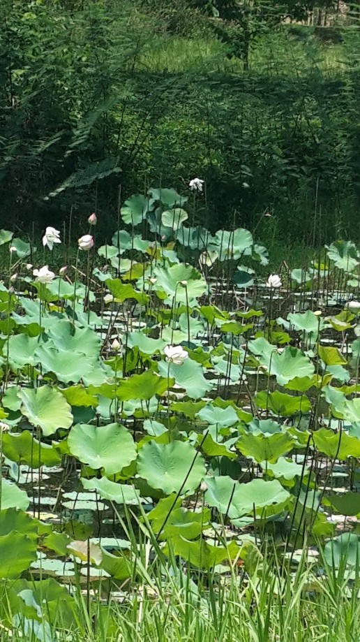 Trip photo #7/7 Waterlillies on the ride home.