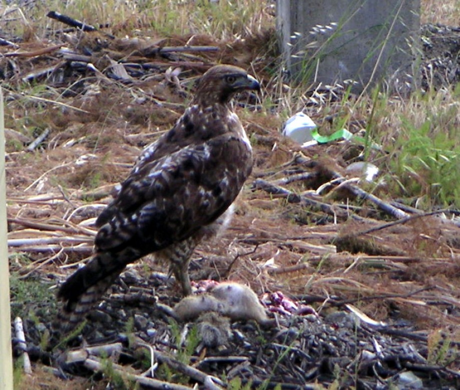 Trip photo #4/40 Hawk with squirrel at west end of bridge