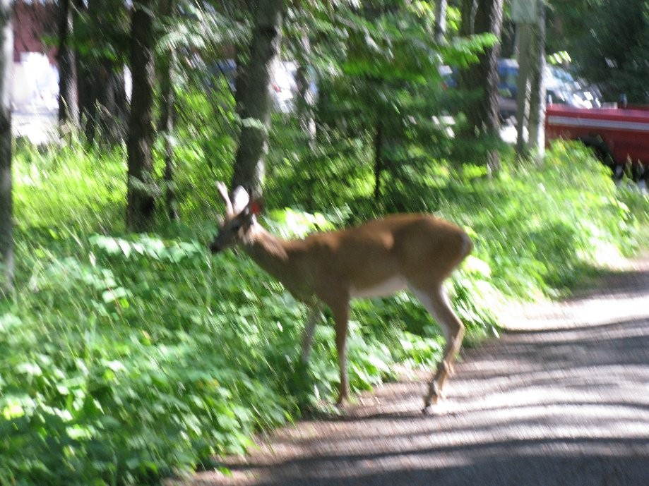 Trip photo #14/21 White tail on the Apgar bike path