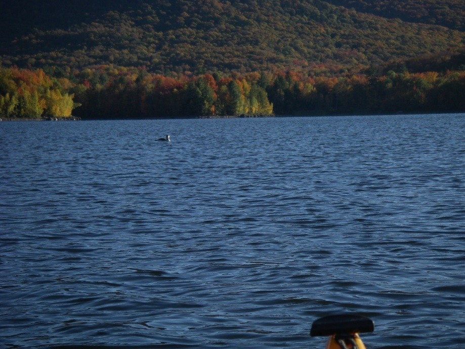 Trip photo #15/29 Young Loon