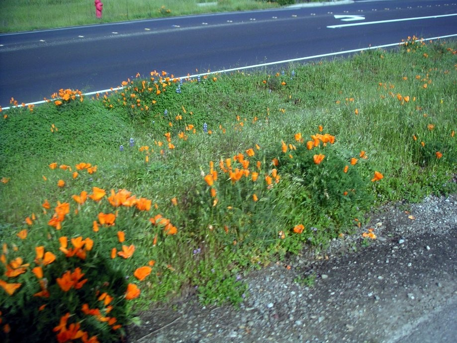 Trip photo #4/22 Roadside poppies on Concannon