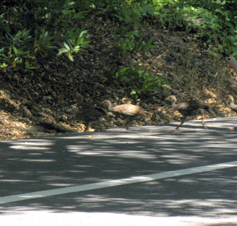 Trip photo #16/16 Turkeys crossing Moraga Way (not on map)
