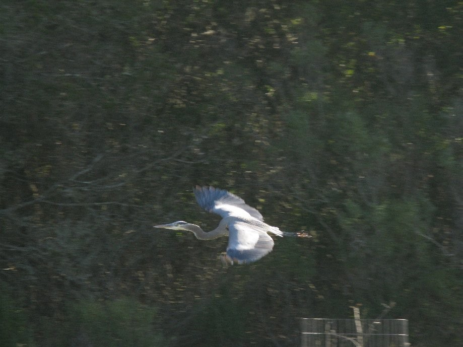 Trip photo #3/18 Blue Heron