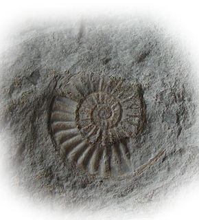 Ammonite_medium