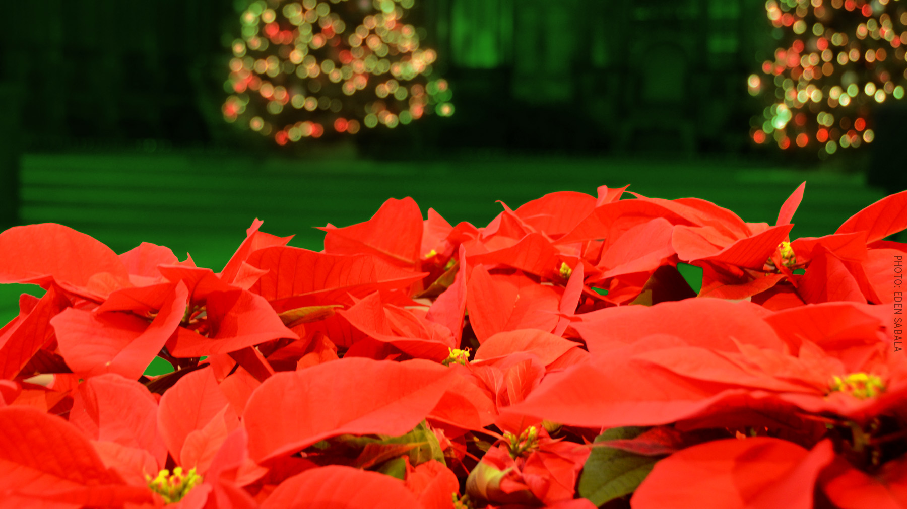 Banner_christmas_poinsettia