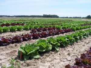 2012 early spring lettuce trial