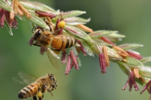 Honey bees collecting corn pollen