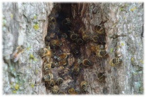 Nest of wild honey bees