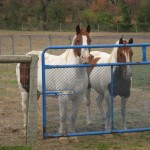 two horses waiting at a gate
