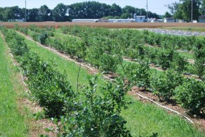 In its third year of research, blueberry varieties on this half an acre research plot were allowed to bear fruit