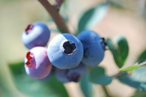 As they near perfect harvest conditions, blueberries will plump up as they turn blue. Varieties run from sweet to slightly tart and vary in size