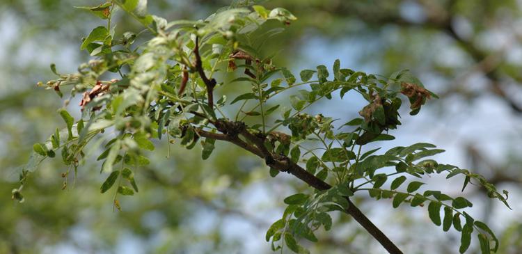Mimosa webworm damage on honey locust.  Photo credit:  Brian Kunkel