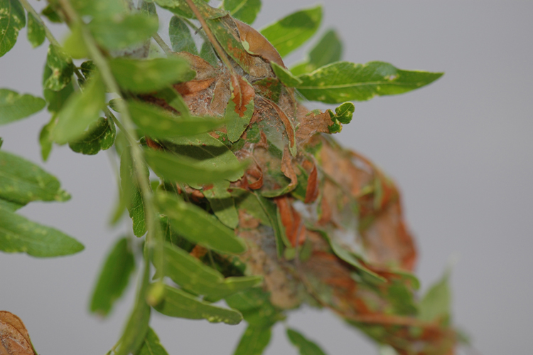 Close up of mimosa webworm webbing.  Photo credit:  Brian Kunkel