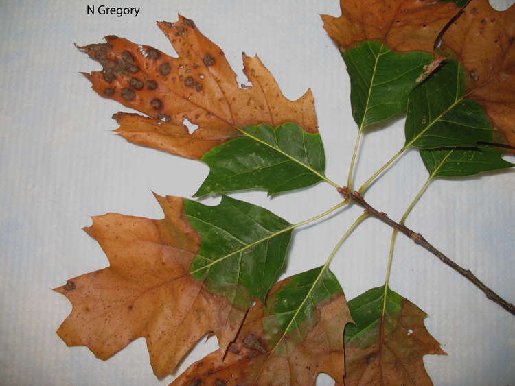 Bacterial leaf scorch on red oak.  Photo credit: Nancy Gregory