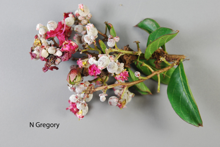 Powdery mildew on blooms of crepe myrtle. Photo credit: Nancy Gregory