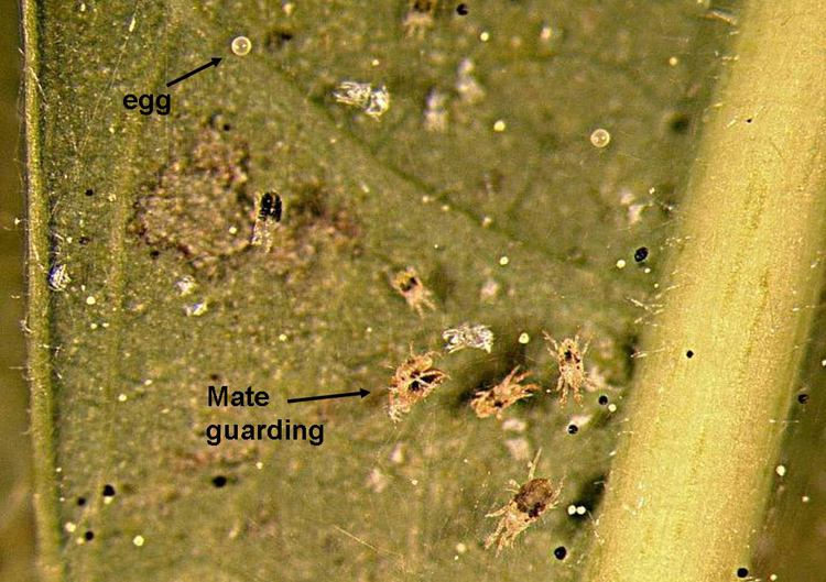 Two spotted spider mite eggs and guards.  Photo credit: Brian Kunkel