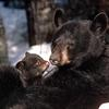 Black_bear_and_cubs_thumb