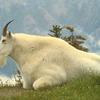 Rocky_mountain_goat_thumb