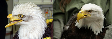 """Ella es """"Beauty"""", el águila calva que luce su nuevo pico después de recibir impactos de bala por parte de un cazador."""