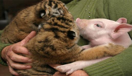Tigers & pig