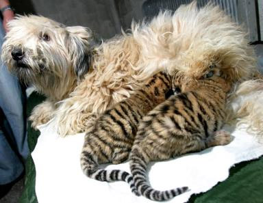 Dog &amp; Cubs