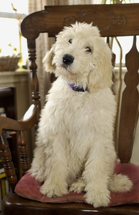 dog – a crossbreed between a golden retriever and a standard poodle ...
