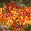 Florida_flame_azalea__rhododendron_austrinum_orange_red