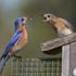 Eastern_bluebirds