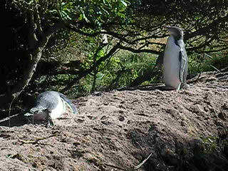 Penguins at Dunedin